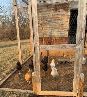 las-gallinas.jpg